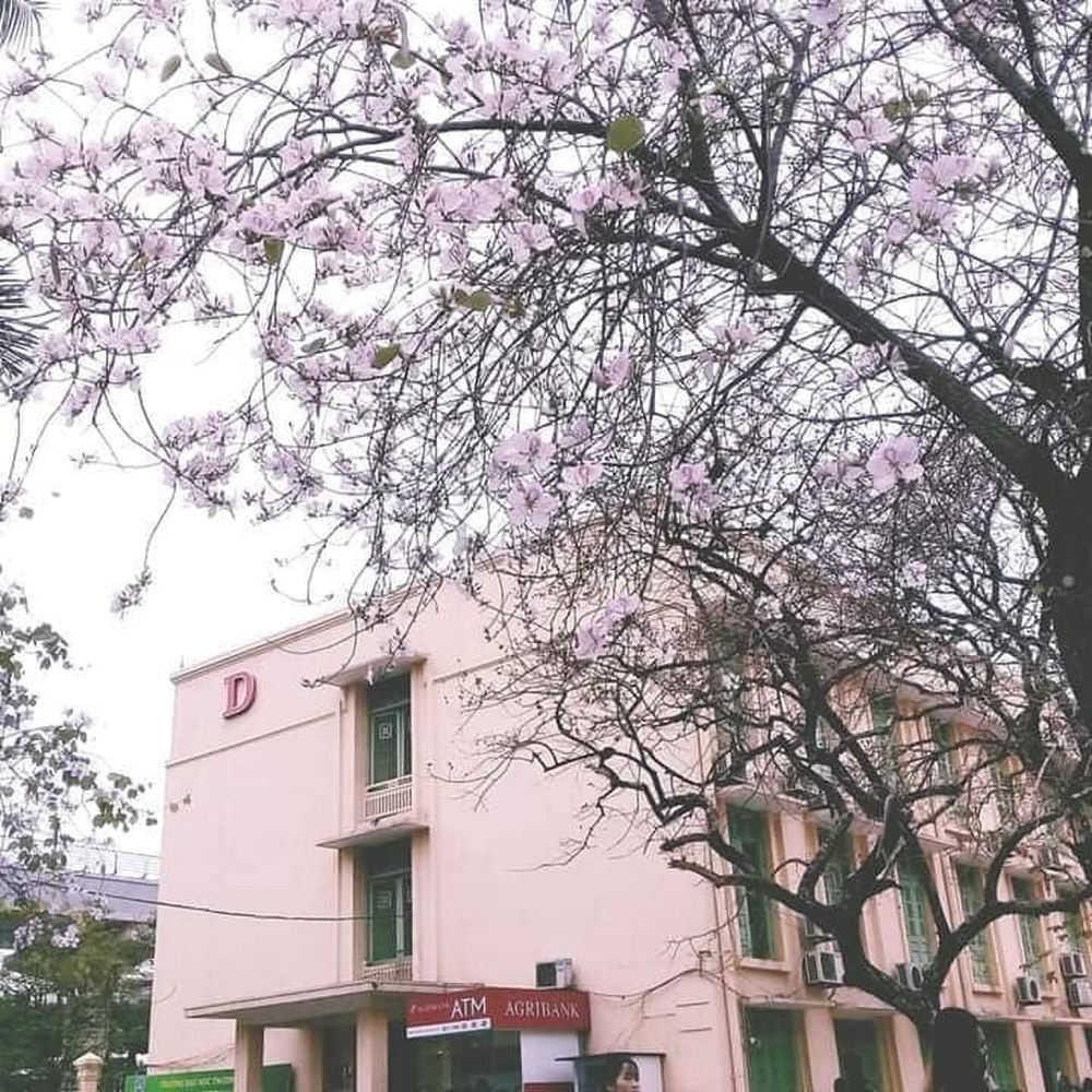 Tháng 2 này, đẹp nao lòng với ngôi trường ở Hà Nội nở rộ sắc tím hoa ban Ảnh 2