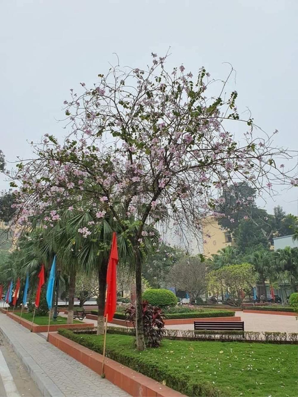 Tháng 2 này, đẹp nao lòng với ngôi trường ở Hà Nội nở rộ sắc tím hoa ban Ảnh 8