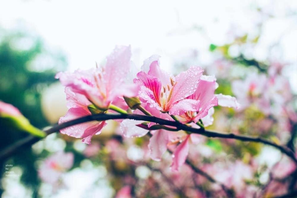 Tháng 2 này, đẹp nao lòng với ngôi trường ở Hà Nội nở rộ sắc tím hoa ban Ảnh 9