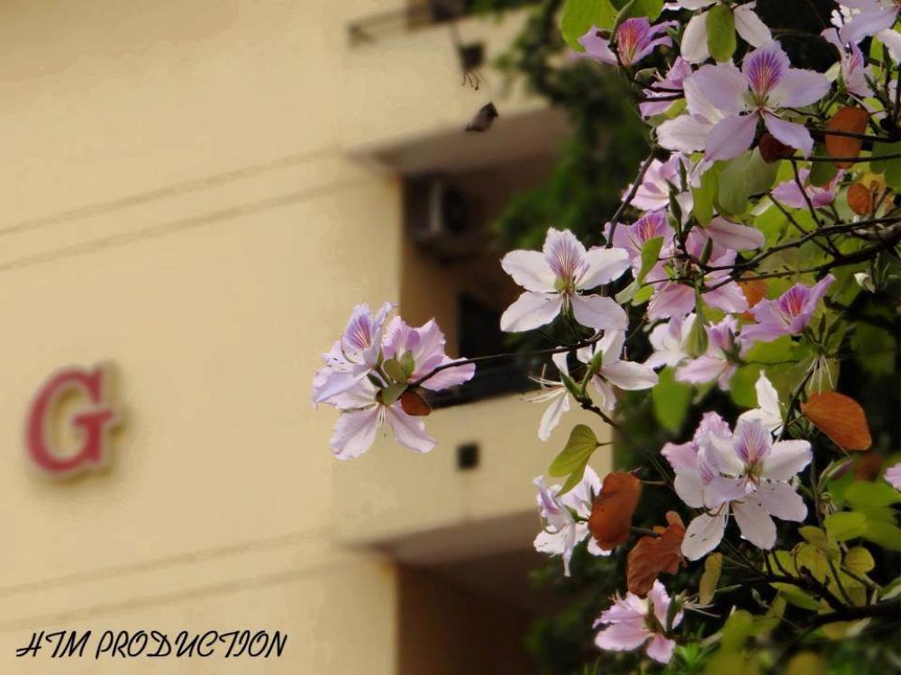 Tháng 2 này, đẹp nao lòng với ngôi trường ở Hà Nội nở rộ sắc tím hoa ban Ảnh 6
