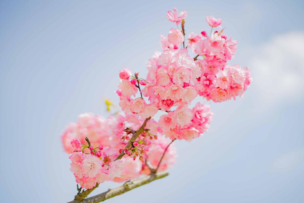 Lên Sa Pa ngắm mai anh đào Nhật Bản đẹp tựa chốn Phù Tang Ảnh 1