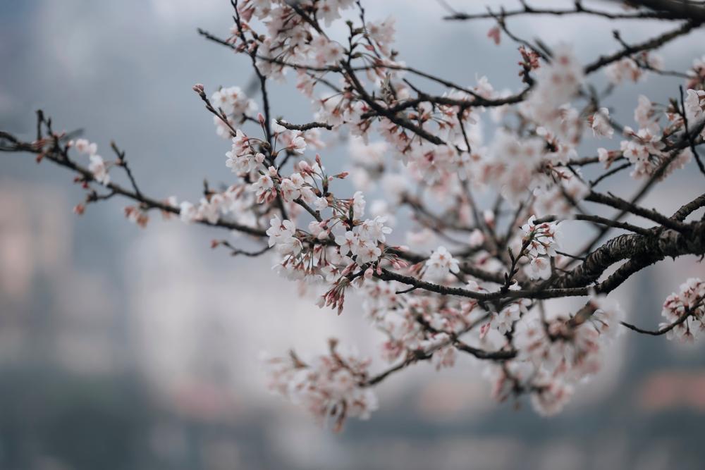 Lên Sa Pa ngắm mai anh đào Nhật Bản đẹp tựa chốn Phù Tang Ảnh 11