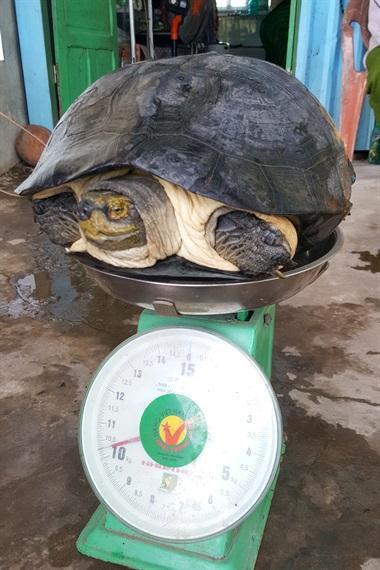 Cận cảnh cá thể rùa nặng hơn 10kg
