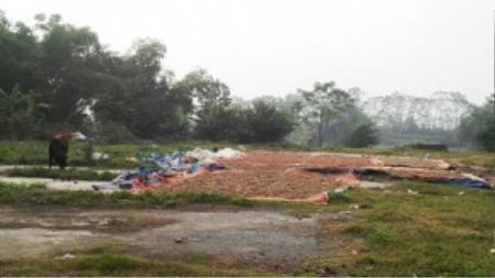 """Người dân tận dụng khu đất trống của nhà văn hóa thuộc phường Đồng Mai (Hà Nội) để phơi chanh, quất """"thối"""" làm mứt, ô mai. Ảnh: T.A"""