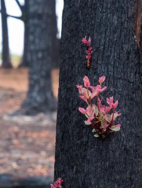 Kỳ diệu khoảnh khắc khu rừng cháy rụi ở Australia hồi sinh dù không có mưa ảnh 2