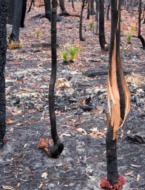 Kỳ diệu khoảnh khắc khu rừng cháy rụi ở Australia hồi sinh dù không có mưa ảnh 4
