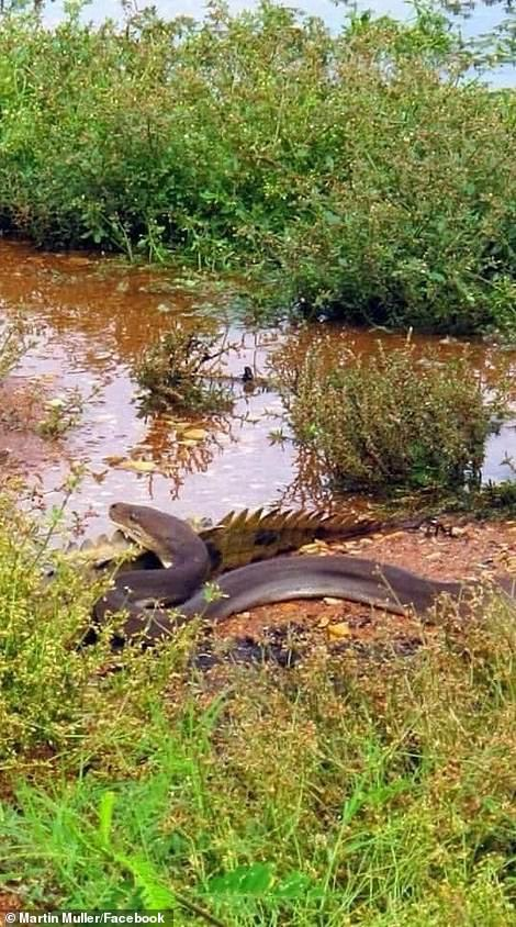 Con trăn oliu từ từ tiếp cận con cá sấu mất cảnh giác.