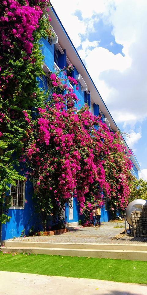 Bờ tường màu xanh làm được phủ kín bởi hoa giấy tạo nên khung cảnh lãng mạn. Ảnh: Bình Dương 24H