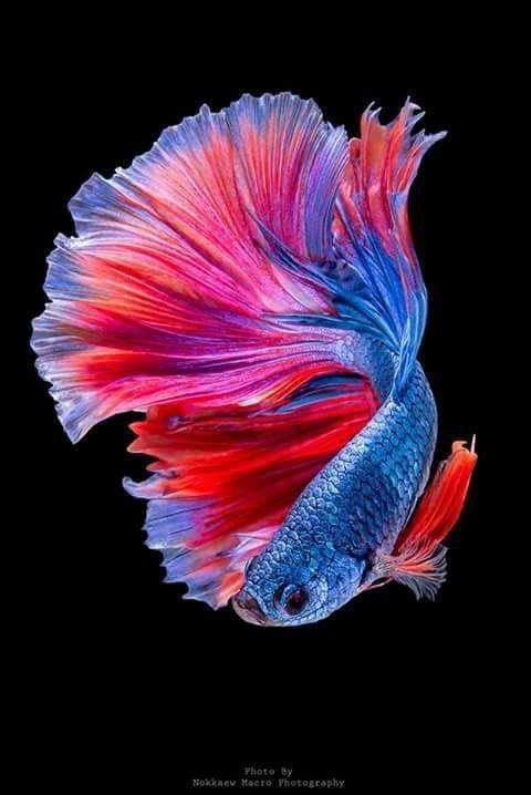 Bộ cánh lấy cảm hứng từ loài cá lia thia đầy sắc màu. Đây là loài cá làm cảnh khá quen thuộc.