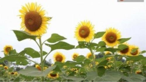 Những bông hoa mặt trời có vẻ đẹp mê đắm lòng người – (Ảnh: Phương Thảo).