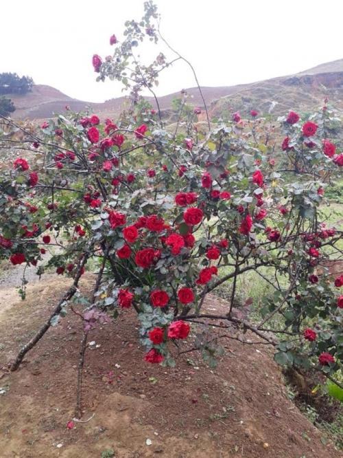 Cây hoa hồng nở đầy hoa.