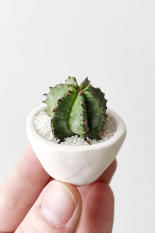 Herbie Mini & Cactus Mini: Những cây xương rồng của Joanna khiến nhiều người bất ngờ với kích thước của chúng chỉ từ 2-4cm bao gồm cả chậu. Ưu điểm của loại cây có giá khoảng 300 nghìn đồng này là nếu quên tưới nước cả tháng nó cũng không bị héo.