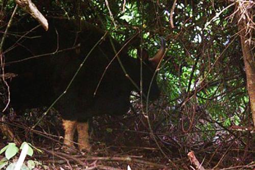 Bò tót được bẫy ảnh chụp lại ở nhiều khu vực của Vườn quốc gia Phong Nha - Kẻ Bàng. Ảnh:Vườn quốc gia