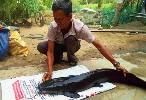 Con cá trê nặng 12 kg do ông Cơi bắt được. Ảnh: Văn Bình.