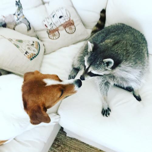 Pumpkin The Raccoon Instagram
