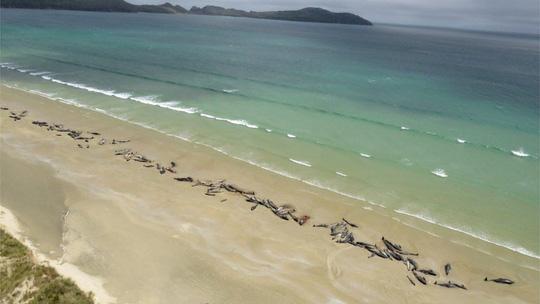 145 con cá voi bị mắc cạn và chết trên một bãi biển xa xôi ở New Zealand. Ảnh: BBC