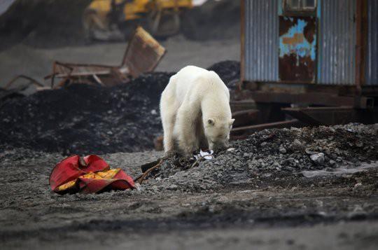 Con gấu lục tìm thức ăn. Ảnh: Reuters
