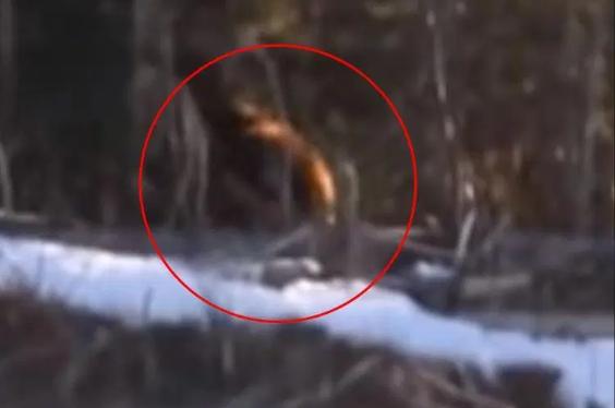 """Hai năm trước, đoạn clip về """"Bigfoot"""" tại Canada đã khiến dân mạng thót tim vì chúng cách con người quá gần."""