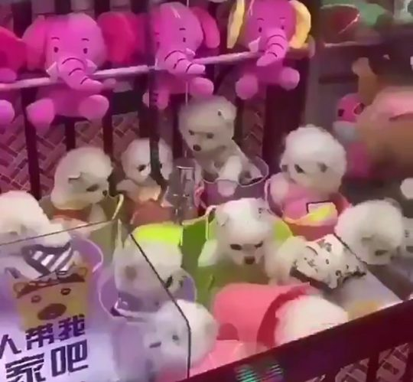 Những chú chó được đem ra làm phần thưởng trong một trò chơi gắp thú tại Trung Quốc.