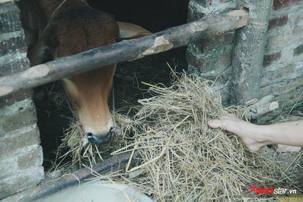 """Người xưa từng ví con trâu, con bò là đầu cơ nghiệp, chính vì vậy """"tài sản"""" này sẽ giúp chị trang trải được cuộc sống sau này."""