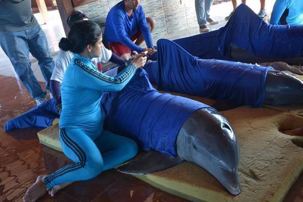 Các huấn luyện viên trấn an cá heo bằng cách vuốt ve khi chúng được mang khỏi môi trường nước trong quá trình di chuyển.