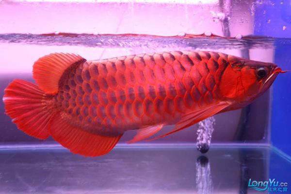Giá cá rồng đỏ một phần phụ thuộc vào màu sắc của chúng