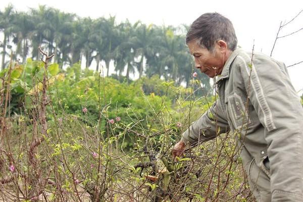 Nhiều người dân xót xa khi đào của gia đình bị chặt phá.
