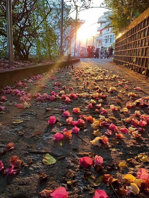 Đi qua khu Giảng đường G7, bạn sẽ được đắm mình vào không gian lãng mạn của những chùm hoa giấy rải đầy con đường.