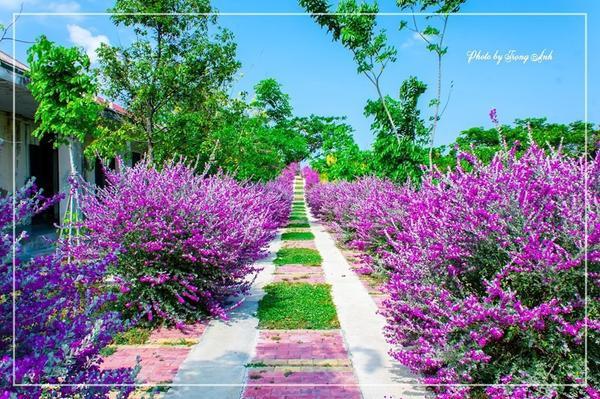 """Loài hoa màu tím có cái tên cực kì kiêu sa """"tuyết sơn phi hồng"""". Loài hoa được trồng 2 bên, đến mùa nở rộ, con đường trở nên bắt mắt hơn bao giờ hết."""