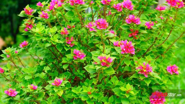 """Loài hoa giấy cực kỳ lạ mắt tại khu vườn """"USSH's Garden""""."""