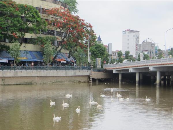 TRước đó, 40 con thiên nga trắng nhập khẩu từ Hà Lan đã được thả xuống dòng Tam Bạc.