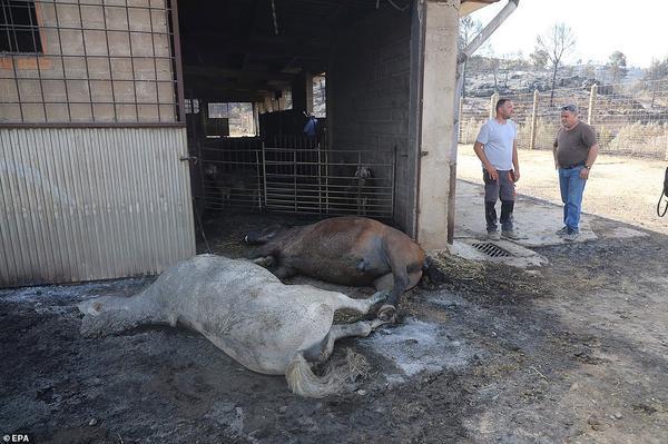 Các vụ cháy rừng ở Catalonia là một trong những điều tồi tệ nhất tại khu vực này trong 20 năm qua. Khoảng 30 người đã được sơ tán khỏi các trang trại ở khu vực bị ảnh hưởng. Trong ảnh, hai con ngựa chết khi đám cháy lan tới trang trại.Tổ chức Khí tượng Thế giới ở Geneva cho hay 2019 sẽ là một trong những năm nóng nhất thế giới.