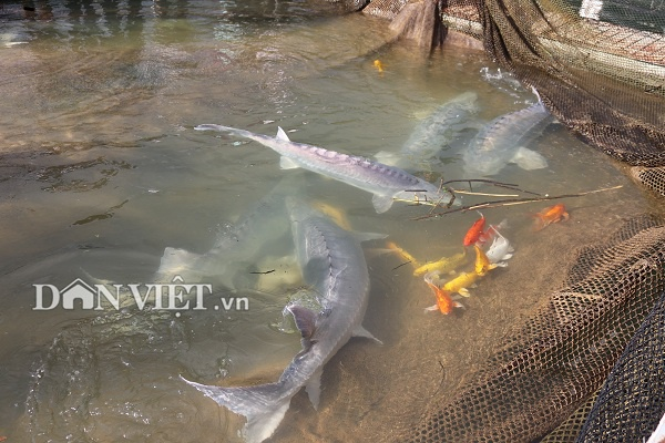 Nhiều Công ty và HTX đã đầu tư vốn vào nuôi cá tầm trên lòng hồ thủy điện Sơn La. Trong ảnh là một con cá tầm cỡ lớn với kích thước to gần như cái cột nhà…