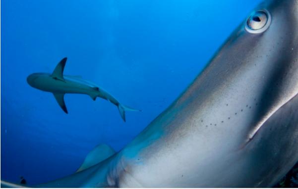 Đây là bức ảnh của nhiếp ảnh gia Shane Gross đứng thứ hai trong hạng mục Dưới nước. Bức ảnh ghi lại cảnh những con cá mập lượn lờ trước ống kính trong khu bảo tồn biển Gardens of the Queen tại Cuba.