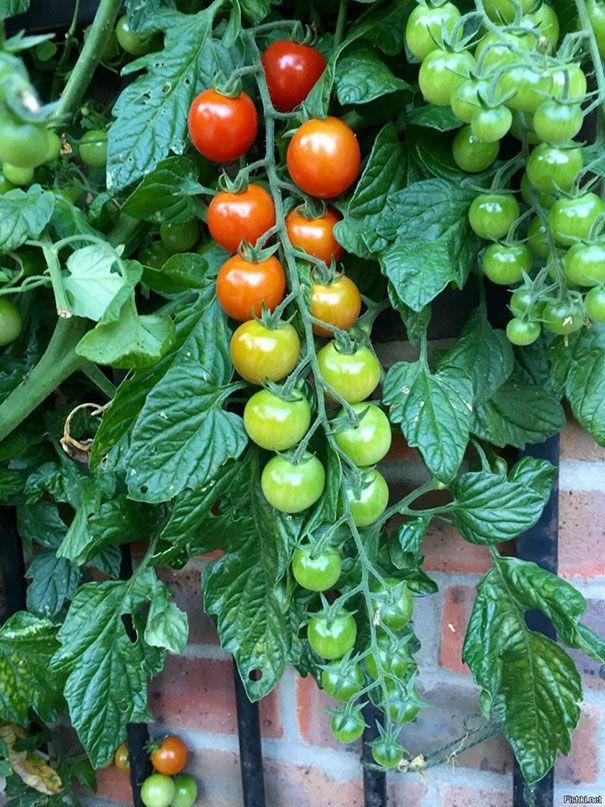 Những quả cà chua được sắp xếp một cách hoàn hảo.
