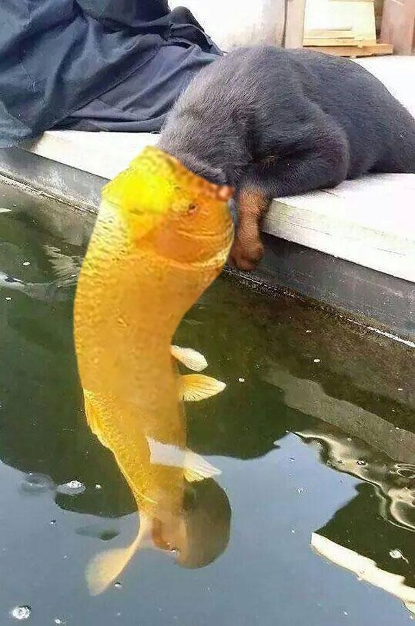 Cứu với, cá tấn công chó kìa.