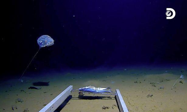Hình ảnh của loài sứa chưa từng được biết đến tại Vực Java, Ấn Độ Dương.