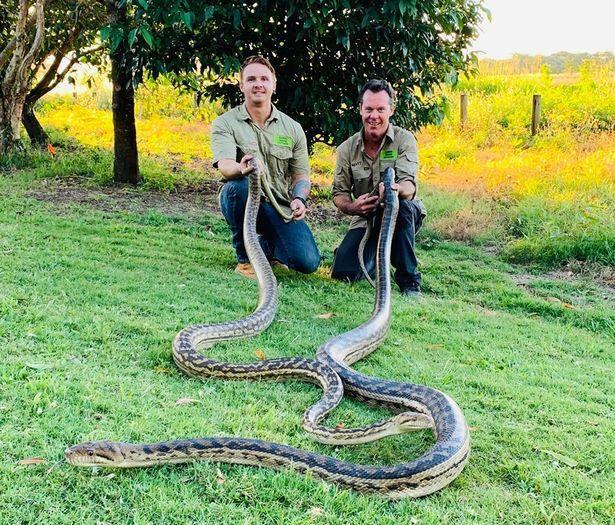 """Matt Hagan (phải) và đồng nghiệp tóm được hai con trăn """"khủng""""."""
