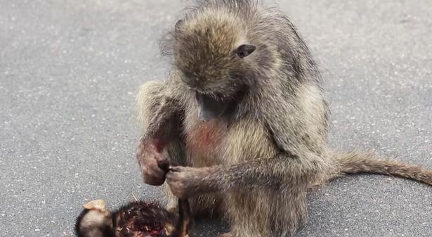 Khỉ mẹ lặng lẽ vuốt ve đuôi con.