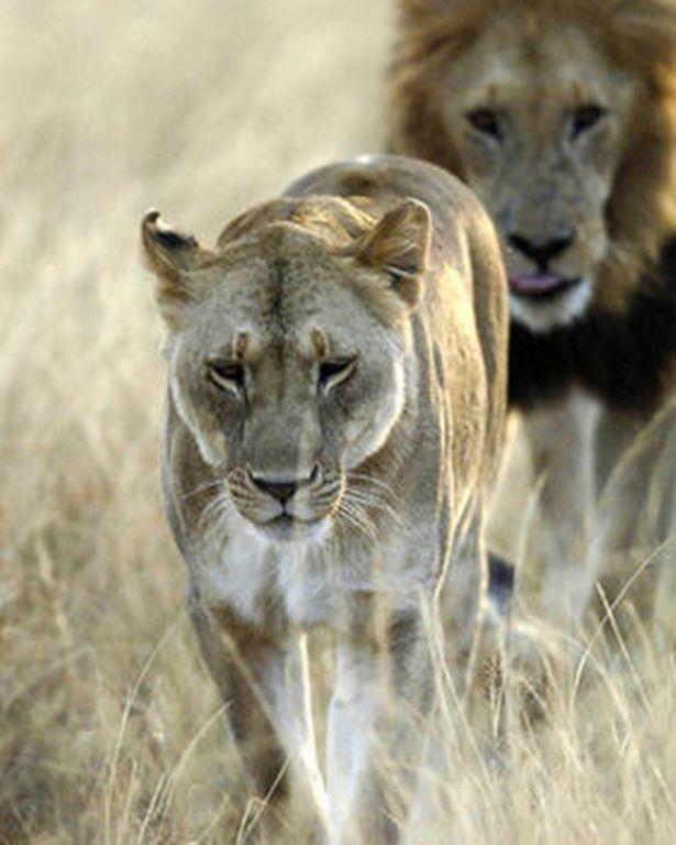 Sư tử châu Phi nằm trong danh sách các loài dễ bị tổn thương củaLiên minh Bảo tồn Thiên nhiên Quốc tế(IUCN).