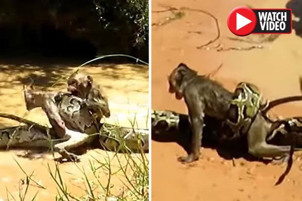 Bị trăn khổng lồ quấn chặt, con khỉ đáng thương sắp chết vì ngạt thở. Ảnh: Daily Star