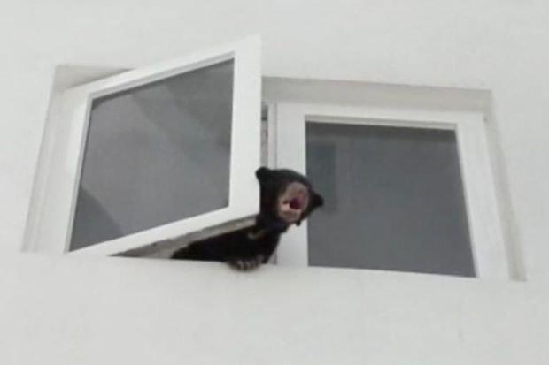 Con gấu bị nhốt trong nhà thò đầu ra ngoài khiến nhiều người hoảng hốt.