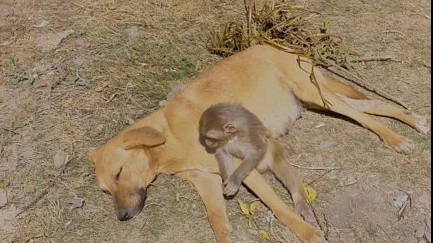 Bản năng làm mẹ đã khiến chú chó chủ động nuôi dưỡng khỉ con ngay cả khi nó từ một loài khác.