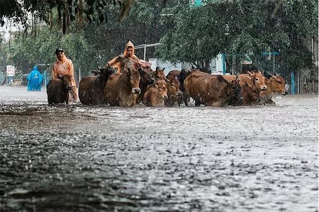 Người dân lùa đàn bò về nhà trên đường Trần Phú ngập nước. Ảnh: VnExpress