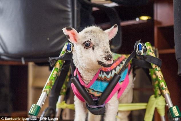 Chỉ mới trước đó khi được khám sức khỏe các bác sĩ thú y nói rằng chú cừu con sẽ không bao giờ có thể đi bộ được nữa.