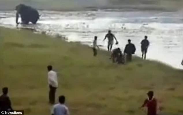 Con voi lao đến, sau đó giẫm đạp liên tục người đàn ông cho đến chết.
