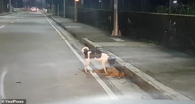 Chú chó nhỏ cố gắng lay bạn dậy ở lề đường trong vô vọng.