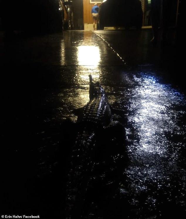Người dân phát hiện một con cá sấu bò ra đường.