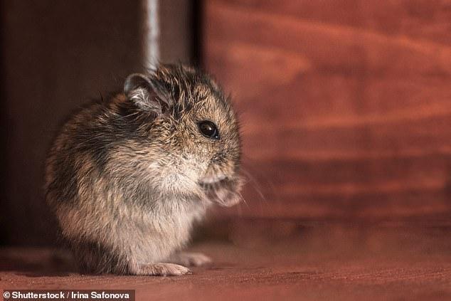 Các loài thú gặm nhấm nhỏ như trong hình có khả năng sống sót cao hơn trước biến đổi khí hậu.