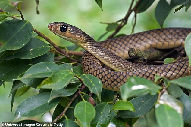 Người đàn ông cắn chết con rắn để trả thù vì bị nó cắn.